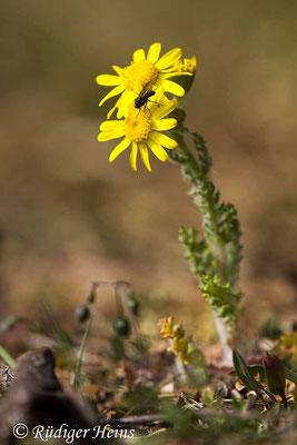 Senecio vernalis (Frühlings-Greiskraut), 15.4.2020