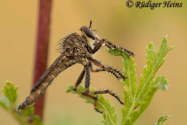 Tolmerus cingulatus (Burschen-Raubfliege) Männchen, 3.8.2021
