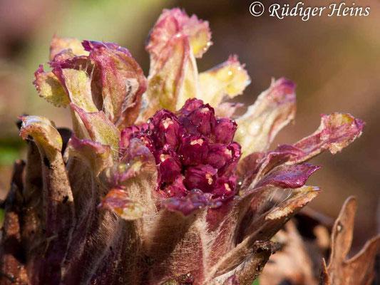 Petasites hybridus (Gewöhnliche Pestwurz), 2.4.2010