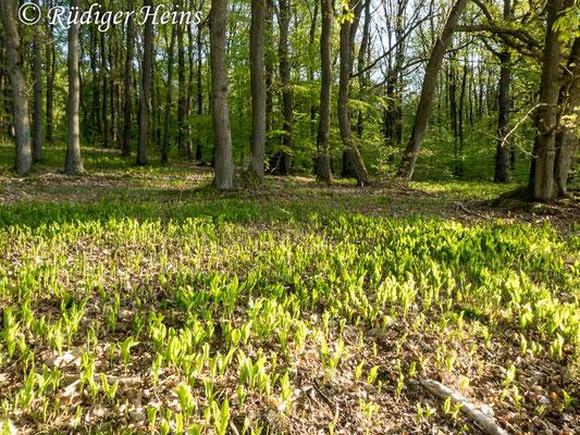 Convallaria majalis (Maiglöckchen) großer Bestand am Waldrand, 5.5.2020