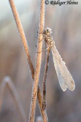Lestes virens (Kleine Binsenjungfer) Weibchen, 3. November 2016 8:22 Uhr