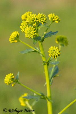 Barbarea vulgaris (Barbarakraut), 27.4.2014