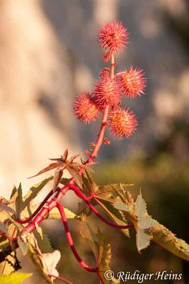 Ricinus communis (Rizinus oder Wunderbaum), 7.7.2010