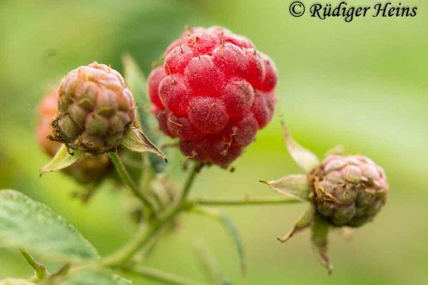 Rubus idaeus (Himbeere), 4.7.2020