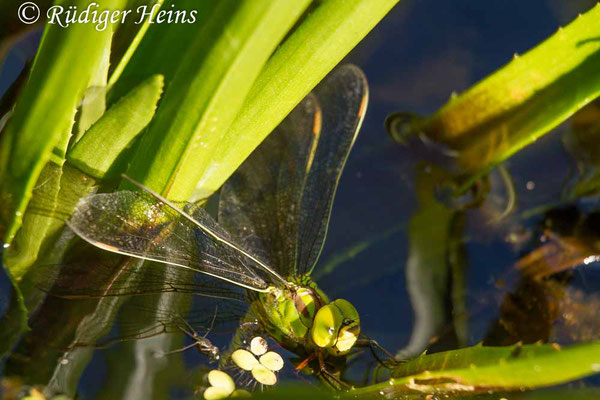 Aeshna viridis (Grüne Mosaikjungfer) Eiablage, 1.8.2013