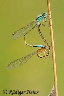 Ischnura elegans (Große Pechlibelle) Paarung, 19.7.2011