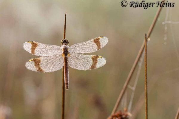 Sympetrum pedemontanum (Gebänderte Heidelibelle) Weibchen, 6.9.2014