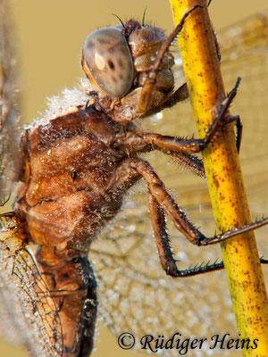 Orthetrum coerulescens (Kleiner Blaupfeil) Weibchen, 2.8.2009