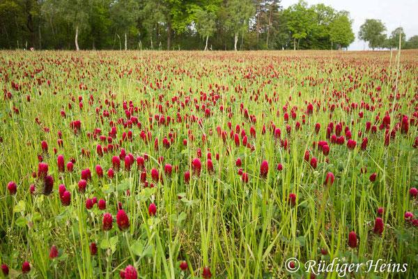 Trifolium incarnatum (Inkarnat-Klee), 20.5.2020