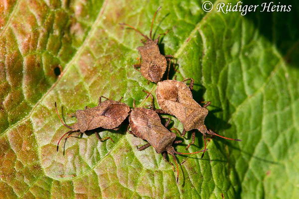 Coreus marginatus (Lederwanze), 29.5.2017