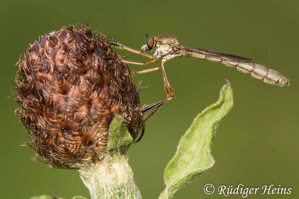 Leptogaster cylindrica (Gemeine Schlankfliege) Weibchen, 21.6.2020