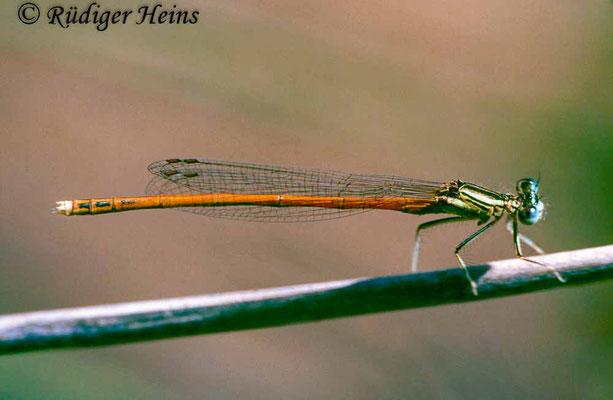 Platycnemis acutipennis (Rote Federlibelle) Männchen, 14.7.1988 (Scan vom Dia)