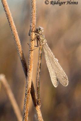 Lestes virens (Kleine Binsenjungfer) Weibchen, 3. November 2016 8:32 Uhr