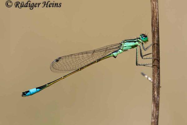 Ischnura elegans (Große Pechlibelle) Männchen, 8.6.2008