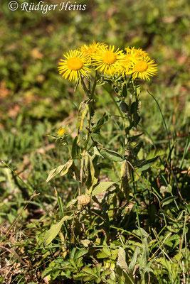 Inula britannica (Wiesen-Alant), 1.8.2020