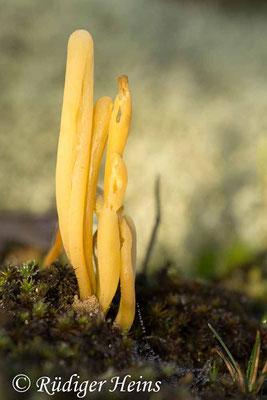 Clavaria argillacea (Heidekeule), 9.11.2014