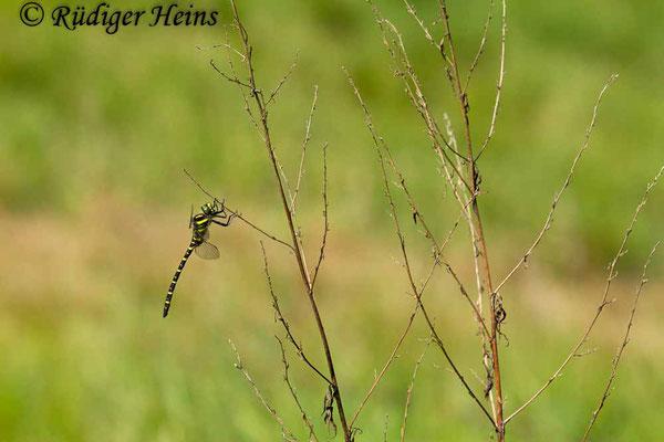 Cordulegaster boltonii (Zweigestreifte Quelljungfer) Männchen, 1.6.2018