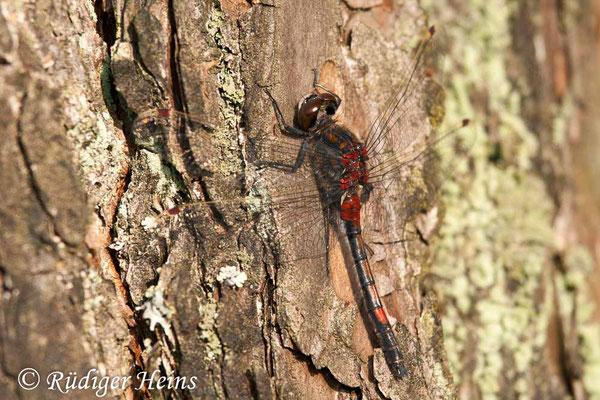 Leucorrhinia rubicunda (Nordische Moosjungfer) Männchen, 5.5.2011