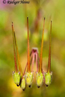 Erodium cicutarium (Gewöhnlicher Reiherschnabel), 14.9.2008