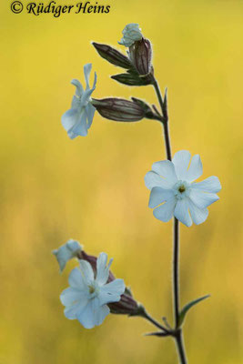 Silene latifolia (Weiße Lichtnelke), 26.6.2020