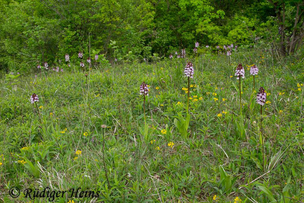Orchis purpurea (Purpur-Knabenkraut) Habitat, 1.5.2014