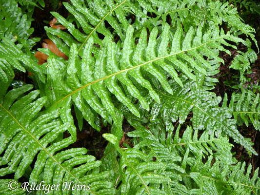 Polypodium vulgare (Gewöhnlicher Tüpfelfarn), 6.12.2009