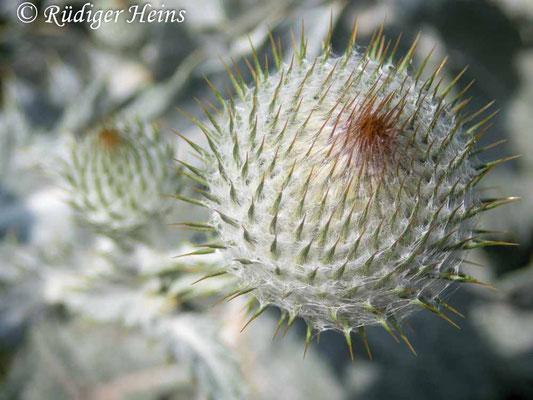 Onopordum acanthium (Gewöhnliche Eselsdistel) Knospe, 17.7.2019