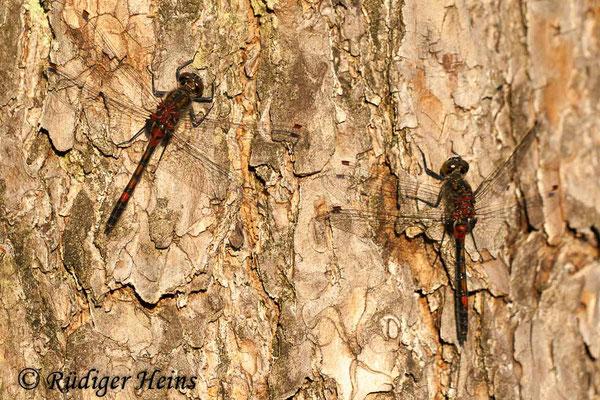 Leucorrhinia rubicunda (Nordische Moosjungfer) Männchen, 24.4.2009
