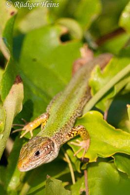 Lacerta trilineata (Riesen-Smaragdeidechse), 31.7.2007