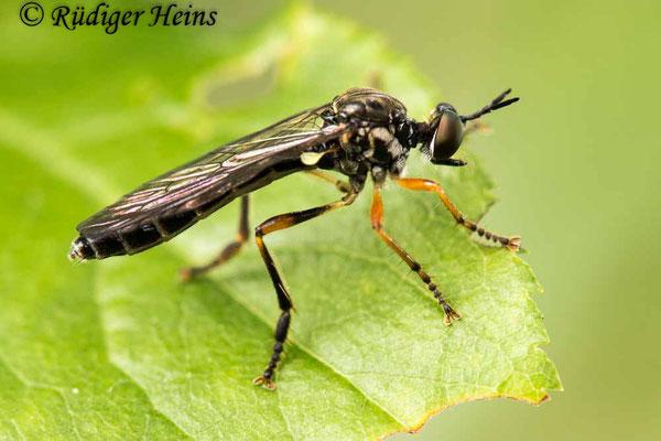 Dioctria hyalipennis (Gemeine Habichtsfliege) Weibchen, 8.6.2020