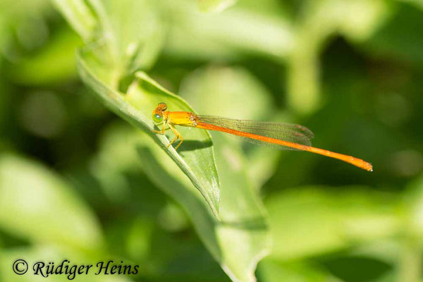Ceriagrion glabrum (engl.  Common citril) Männchen, 29.1.2019