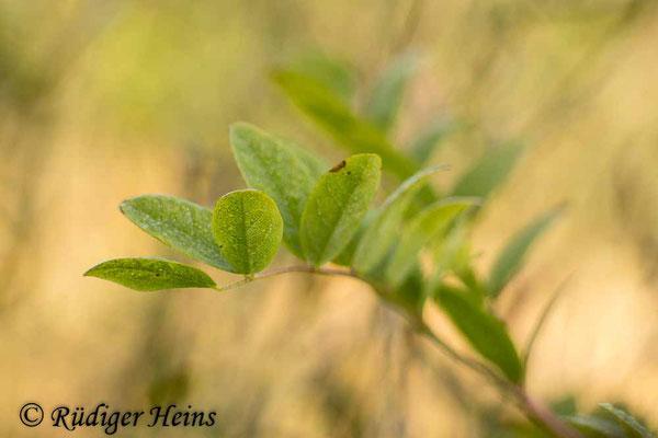 Astragalus glycyphyllos (Bärenschote), 9.8.2021
