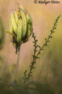 Astragalus glycyphyllos (Bärenschote), 27.7.2021