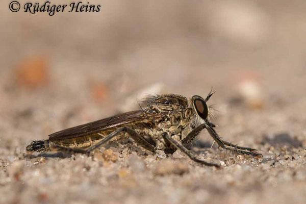 Philonicus albiceps (Sand-Raubfliege) Männchen, 5.8.2021
