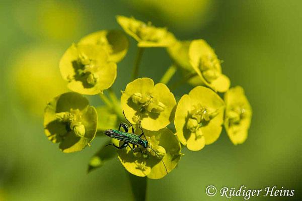 Euphorbia helioscopia (Sonnwend-Wolfsmilch), 29.5.2020