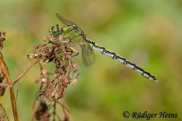 Ophiogomphus cecilia (Grüne Flussjungfer) Weibchen, 24.8.2011