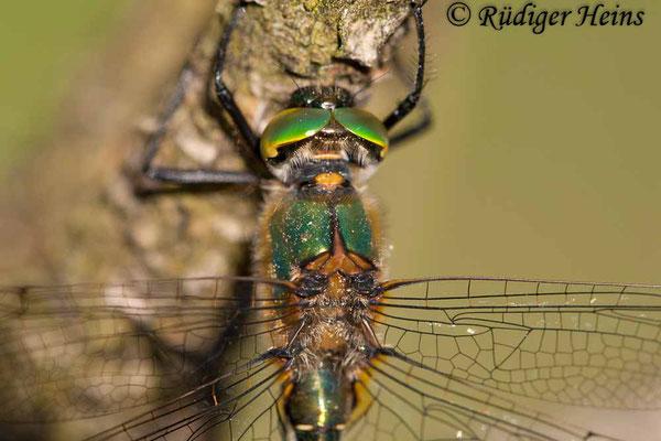Cordulia aenea (Falkenlibelle) Männchen, 12.5.2009