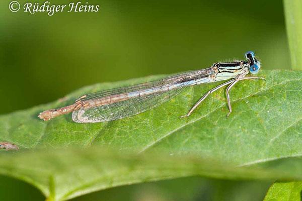 Platycnemis pennipes (Blaue Federlibelle) Weibchen, 19.8.2007