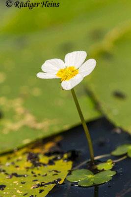Ranunculus aquatilis (Gewöhnlicher Wasserhahnenfuß), 17.6.2020