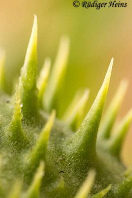 Datura stramonium (Gemeiner Stechapfel) Stacheln, 24.8.2020