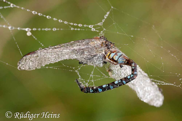 Aeshna mixta (Herbst-Mosaikjungfer) Männchen im Spinnennetz, 12.9.2010