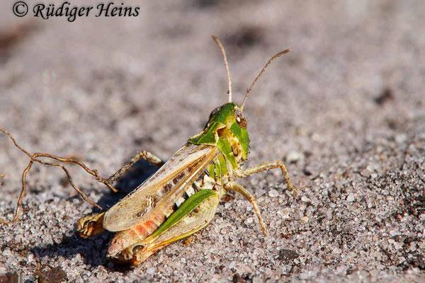 Myrmeleotettix maculatus (Gefleckte Keulenschrecke) Weibchen, 5.7.2018 (Stack aus 14 Fotos)