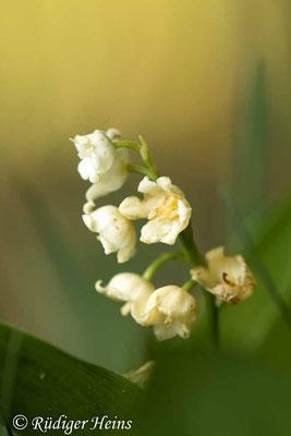 Convallaria majalis (Maiglöckchen) beim Abblühen, 27.5.2020