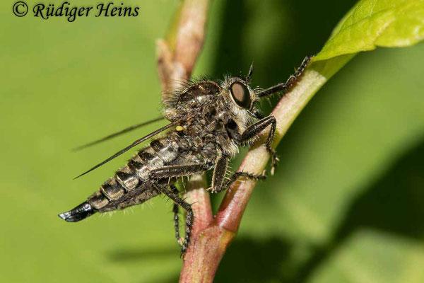 Dysmachus trigonus (Säbel-Raubfliege) Weibchen, 14.6.2021 - Makroobjektiv 180mm f/3.5