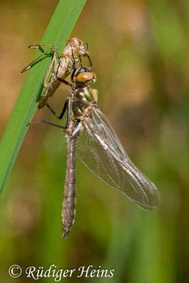 Cordulia aenea (Falkenlibelle) Schlupf, 3.5.2008