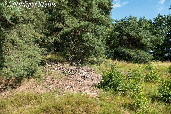 Neoitamus socius (Kleiner Strauchdieb) Habitat, 28.7.2020