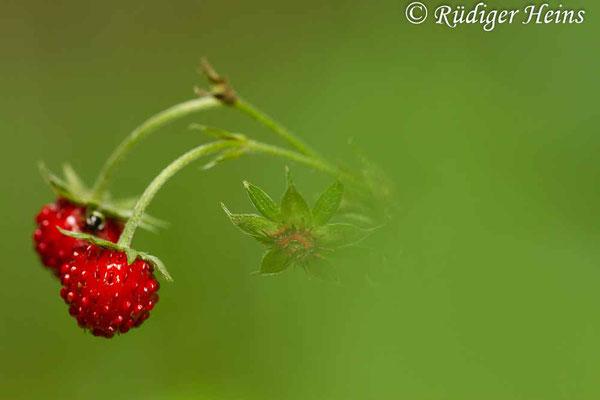 Fragaria vesca (Wald-Erdbeere), 12.7.2015