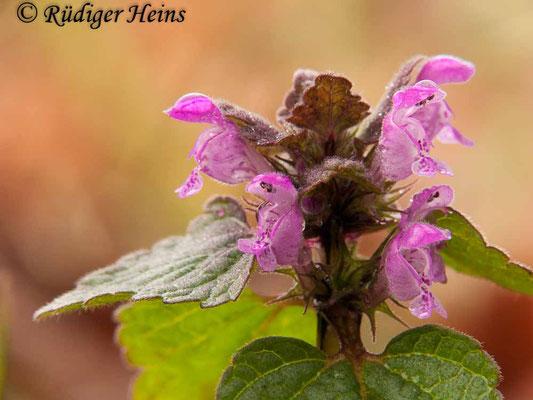 Lamium purpureum (Purpurrote Taubnessel), 3.4.2011