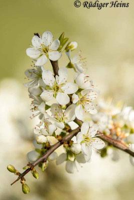 Prunus spinosa (Schlehe oder Schwarzdorn), 8.4.2019
