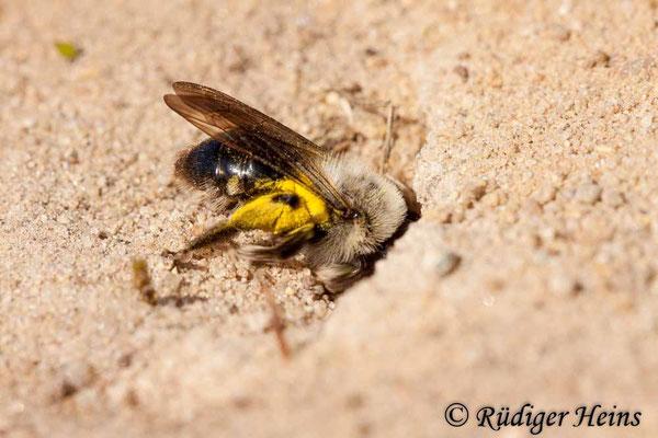 Andrena flavipes (Gemeine Sandbiene), 11.4.2020